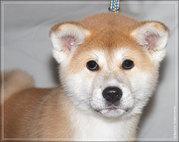 Породный щенок акита-ину.