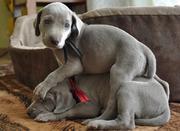 Веймарская легавая щенки !/!!