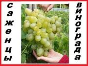 свои саженцы винограда  50  десертных сортов 2 летние, корнисобственные