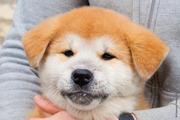 Яркий,  породный щенок акита ину