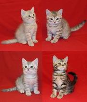 Шотландские котята,  продажа