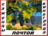 Саженцы винограда 92  десертных сорта 2 - х летние-почтой по России.