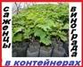 Вегетирующие саженцы винограда( 40 сортов) с ЗКС в контейнерах.