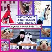 ХАСКИ черно-белых красивееенных щеночков с яркими голубыми глазками
