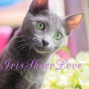 Iris Sheer Love/русский голубой котенок /Чемпиона Мира WCF/Краснодар